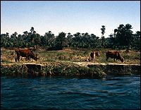 Cows grazing on the banks of the Nile